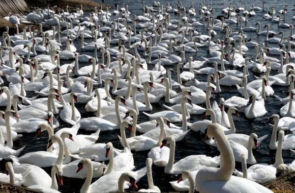 Фотоподбоpкa - Лебеди / Swans (189) (250 фото)