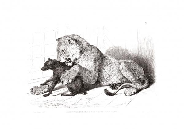 Гравюры львов, тигров, пантер, леопардов, собак и прочее 1853 (40 фото)